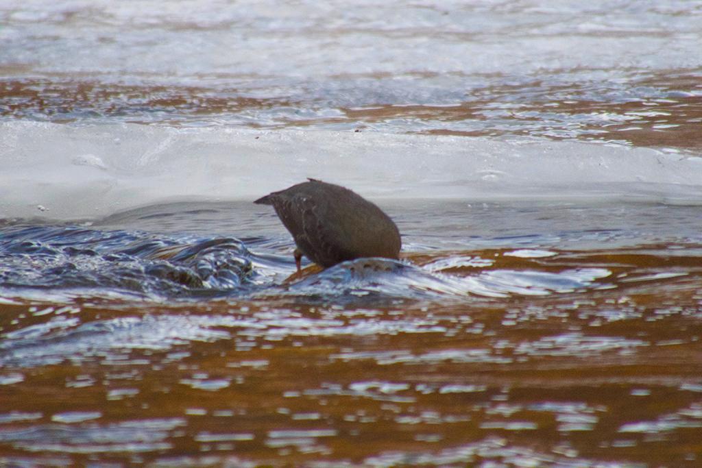 Dipper looking under water