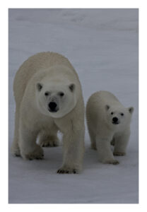 Polar bear sow and cub on ice in Svalbard, Norway