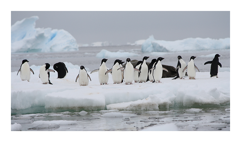 Adele penguins on ice in Antarctica