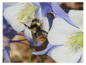 Bumblebee at columbine