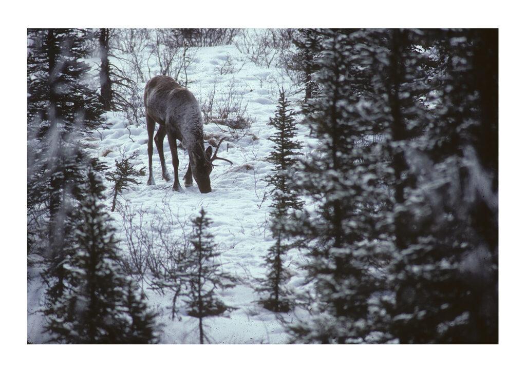 Caribou feeding in snowy taiga
