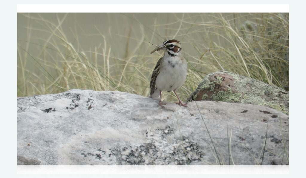 Lark bunting with a grasshopper