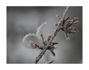 hoar frost on a mountain mahogany